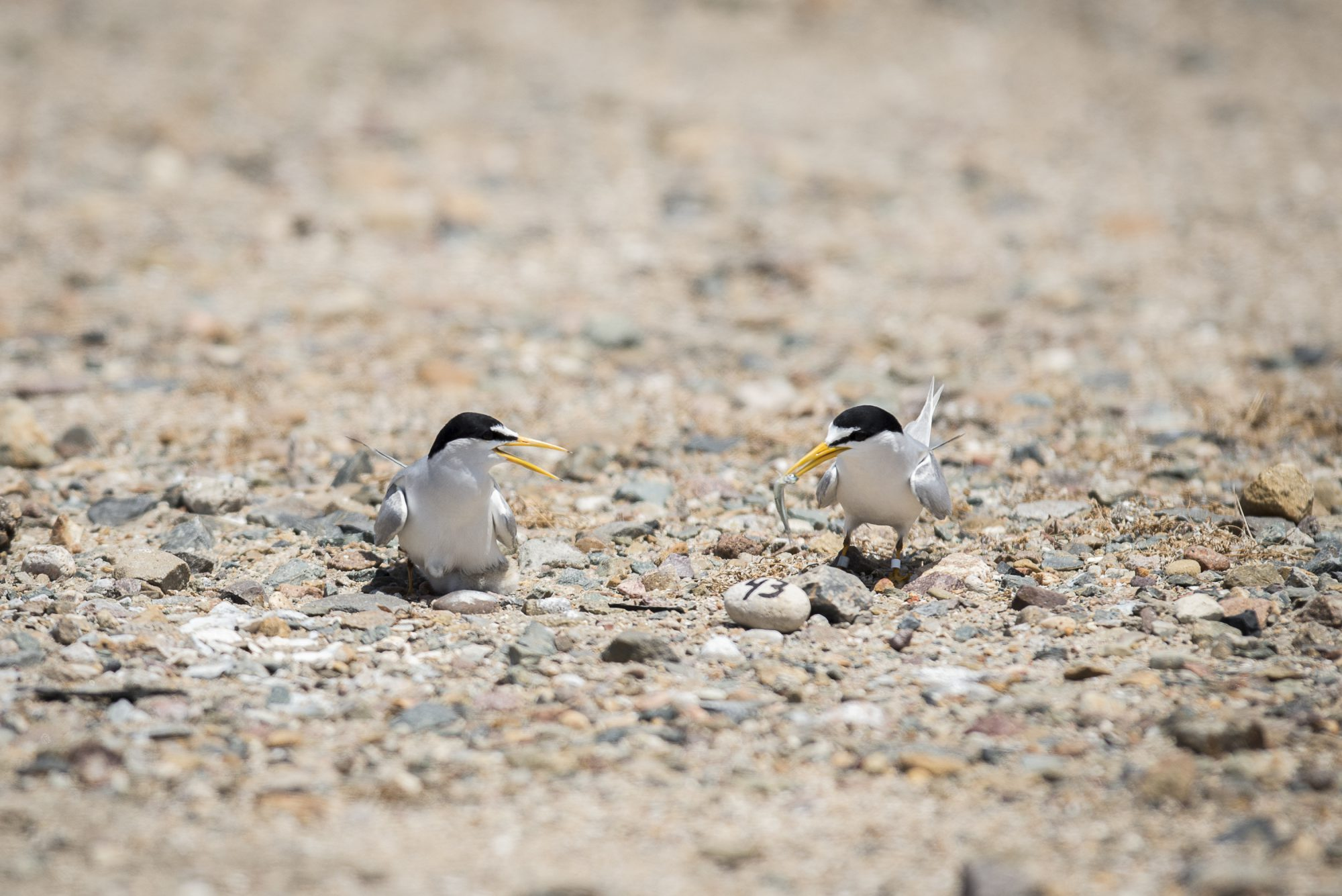 2020 California Least Terns Update